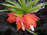 20 x Samen Fritillaria Imperialis Kaiserkrone Rubra, rot