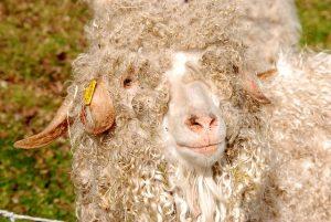 Schafwolle gegen Schnecken einsetzen