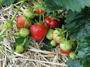 erdbeeren im ursprung