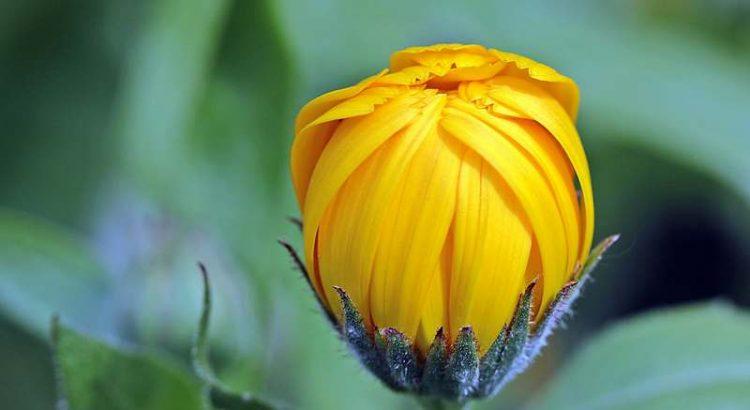Gartenblogs Gartenseiten Blumen Gemüse Infos Tipps Links_Schneckenhilfe Knospe