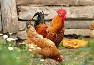 Hühner Enten gegen Schnecken im Garten einsetzen
