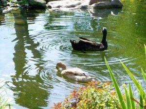 Indische Laufenten Flaschenenten Haltung Teich Garten Schnecken Nacktschnecken Schneckenabwehr Schneckenbekaempfung Problem Risiko Chance Vermehrung Fortpflanzung Fütterung Stall Zaun