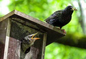 Nistkasten Nisthöhle Nistgelegenheit Nisthilfe Amsel Nest vogel gegen Schnecken Nacktschencken im Garten Fressfeinde ansiedeln_Schneckenhilfe