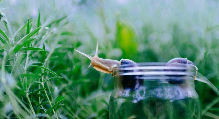 Pflanzenhut Pflanzenhüte Anzuchtglocke Anzuchtglocken gegen Schnecken Nacktschnecken im Garten einsetzen Schenckenschutz Schneckenabwehr Hindernis Schneckenplage Hilfe_klein