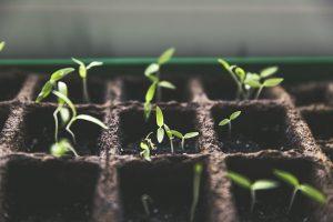 Schneckenplage durch Pflanzenzucht hin auf Geschmack und nicht auf Resistenz gegen Schnecken