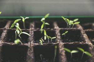 Schneckenplage durch Pflanzenzucht hin auf Geschmack und nicht auf Resistenz gegen Schnecken_tn