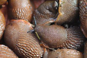 Schneckenplage im Garten - welche Gründe gibt es - was kann man dagegen tun