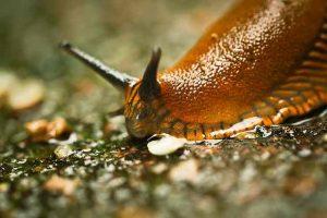 Spanische Wegschnecken die Schadschnecken im Garten wie wird man sie wieder los