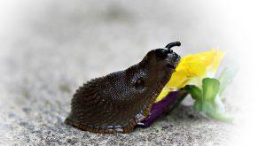 Spanische Wegschnecken was fressen sie welche Pflanzen mögen sie