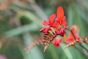 Blumen die Nacktschnecken in Frieden lassen Montbretie