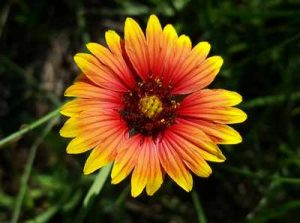 Blumen die Nacktschnecken nicht gern fressen Kokardenblume schmeckt Schnecken nicht