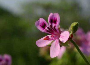 Blumen die Schnecken nicht fressen schneckenresistente Pflanzen Nacktschnecken im Garten