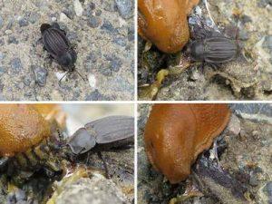Starkgerippter Geradschienen Aaskäfer attakiert frisst Spanische Wegschnecke rot braune Nacktschnecke
