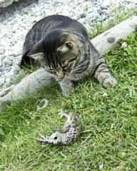 Katze und Kröte Feinde von Amphibien im freundlichen Garten schützen