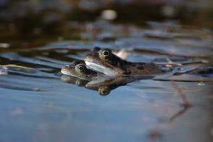 Kröten im Gartenteich amphibienfreundlicher Gartenteich Frösche Molche