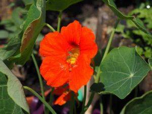 Pflanzen die Nacktschnecken meiden Kapuzinierkresse Kapuzinerschnecke resistente Pflanzen