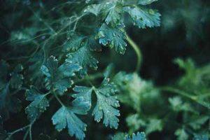 Pflanzen die Nacktschnecken nicht mögen Liebstöckel Maggikraut fressen Schnecken ungern meiden
