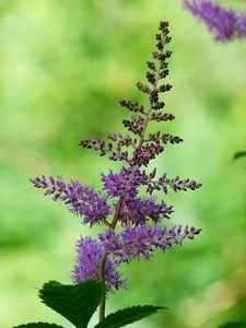 Prachtspiere sind schneckensichere Pflanzen Astilben