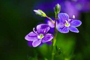 Schneckenresistene Pflanzen Ehrenpreis mögen Nacktschnecken nicht fressen meiden Schnecken