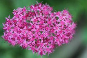 Spornblumen mögen Schnecken nicht fressen