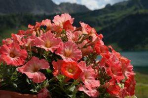 Welche Blumen fressen Nacktschnecken gerne Petunien