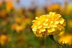 Welche Blumen fressen Schnecken Nacktschnecken gerne Tagetes Studentenblume gelb