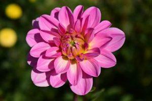 Welche Blumen mögen Nacktschnecken gerne fressen Dahlien