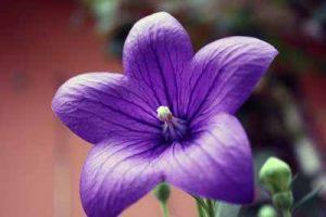Welche Blumen mögen Nacktsschnecken nicht fressen Ballonblume schneckenresistente Pflanzen