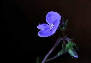 Welche Blumenpflanzen mögen Nacktschnecken ungern fressen schneckenresistente Pflanzen