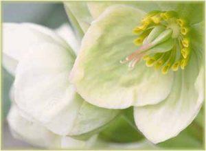 Welche Blumenpflanzen mögen Schnecken nicht gern fressen Christrose schneckenresistente Blume