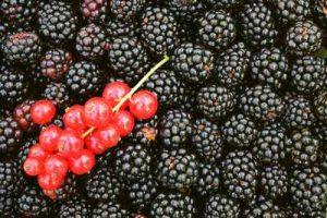 Welche Früchte fressen Schnecken nicht gern Brombeeren Johannisbeeren mögen Nacktschnecken nicht fressen