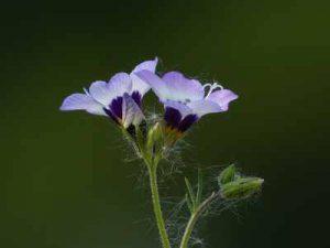 Welche Pflanzen werden von Schnecken verschont Himmelsleiter mögen Schnecken nicht schmecken