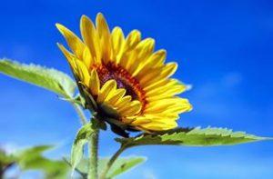 Welche Planzenarten fressen Nacktschnecken gerne mögen lieben anziehen anlocken Schnecken Sonnenblumen
