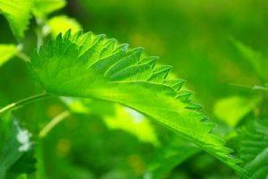 Artenreichtum im Garten Brennnessel Lebensraum für Insekten