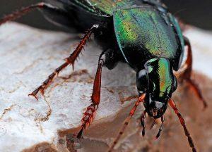 Schwarzer Käfer Grün schimmernd