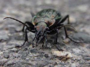 Laufkäfer Schneckenfresser Käfer gegen Schnecken Nacktschnecken Insektenfreundlicher Garten