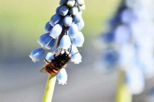 Mauerbine sitzt auf einer blauen Blüte