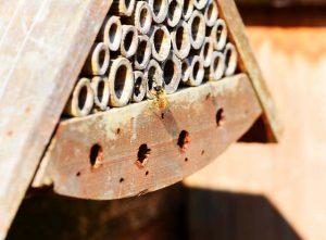 Eine Mauerbine im Anflug auf ein Insektenhotel aus Holz und Bambus