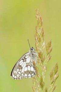 Schmetterling schwarz weiß grau gefärbt sitzt auf grüner Pflanze
