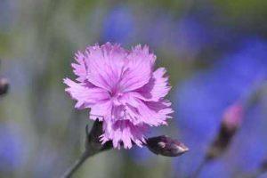 schneckenresistene Blumenpflanzen Nelken fressen Nacktschnecken nicht gern
