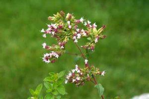 schneckenresistente Kräuterpflanzen Dost Oregano mögen Nacktschnecken nicht fressen