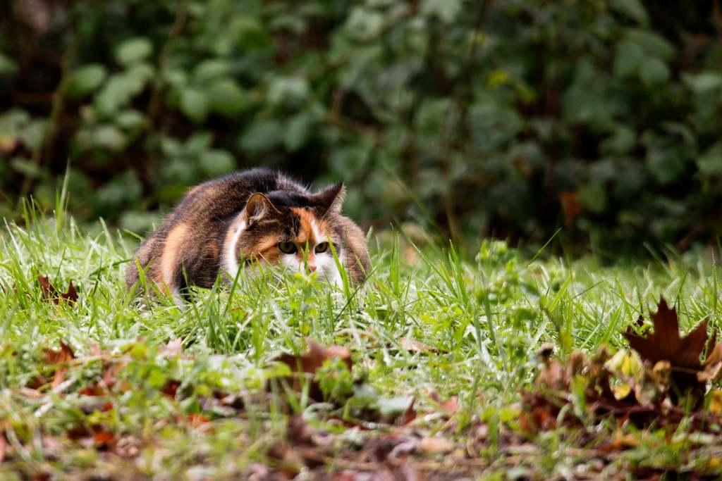 Eine Katze lauert einem Maulwurf im Garten auf