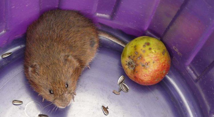 Wühlmausfalle Wühlmaus in der Falle Plastikeimer mit Apfel