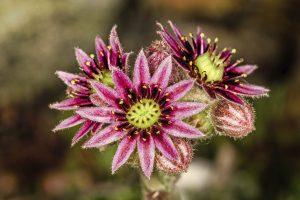 Schneckenresistente Blumen