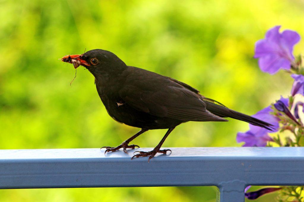Vögel natürliche Schneckenfeinde