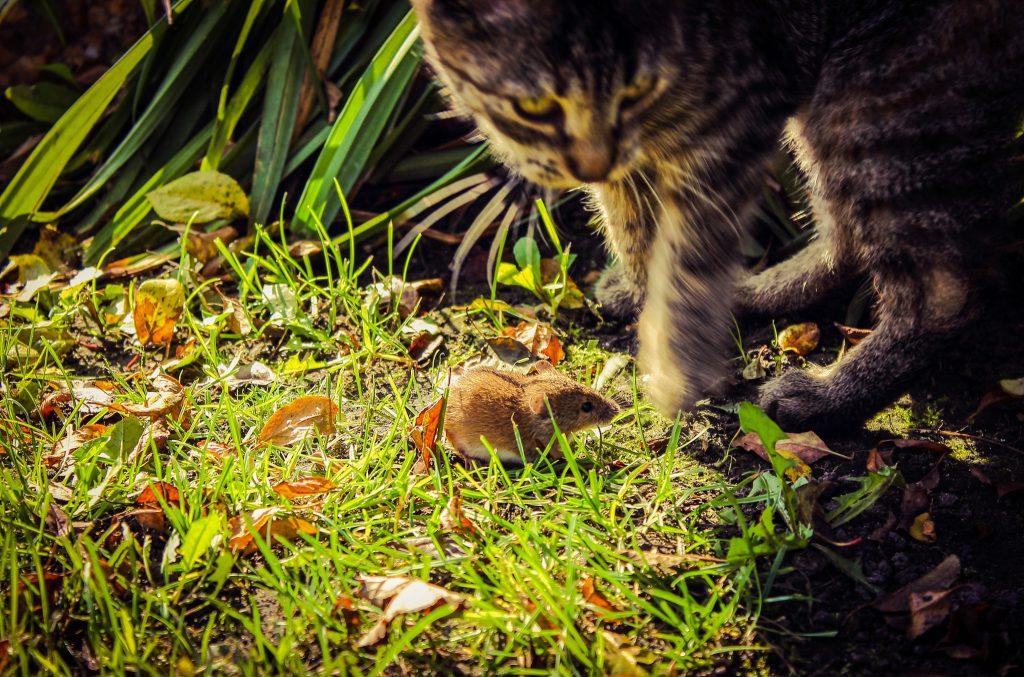 Wühlmaus und Katze