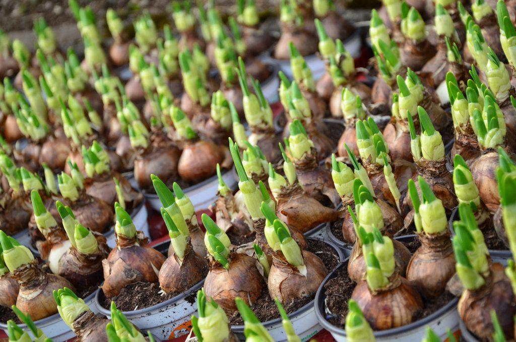 Blumenzwiebeln gegen Wühlmäuse