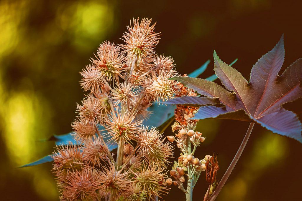 Wunderbaum Ricinusbaum Wolfsmilchgewächse gegen Wühlmäuse