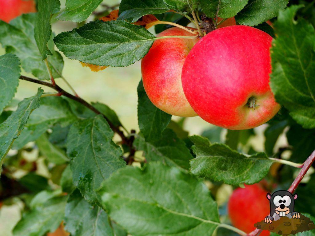 Apfelbaum Wühlmausschutz