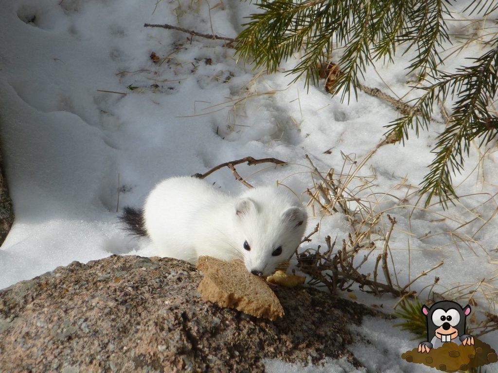 Hermelin weiß winter